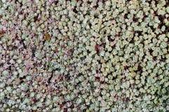 Sedum Plants Stock Photo