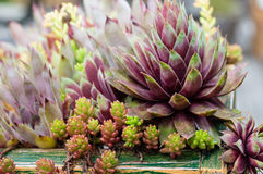 Sedum plants in a green roof Stock Photo