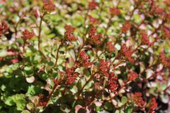 Sedum plants have flower buds Royalty Free Stock Images