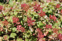 Sedum plants have flower buds. Blooming under the sunshine in early summer Stock Image