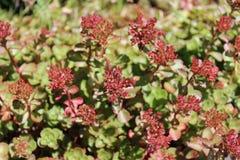 Sedum plants have flower buds Stock Image