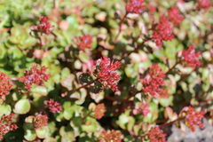 Sedum plants have flower buds. Blooming under the sunshine in early summer Stock Photography