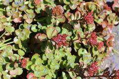 Sedum plants receive a California lilac petal shower. Sedum plants have flower buds blooming under the sunshine in early summer Royalty Free Stock Images