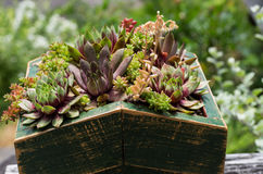 Sedum plants used for green roof Stock Photography