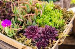 Sedum plants used for green roof applications Royalty Free Stock Image