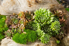 Sedum plants used for sustainable plantings Royalty Free Stock Image