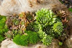 Sedum plants used for sustainable plantings. Sedum plants or sempervivum used for sustainable roof plantings Royalty Free Stock Image