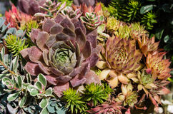 Sedum plants used for sustainable plantings. Sedum plants or sempervivum used for sustainable roof plantings Royalty Free Stock Photography