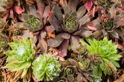 Sedum plants used for sustainable plantings. Sedum plants or sempervivum used for sustainable roof plantings Royalty Free Stock Images