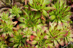 Sedum plants used for sustainable plantings Stock Photography