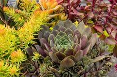 Sedum plants used for sustainable plantings. Sedum plants or sempervivum used for sustainable roof plantings Stock Photos