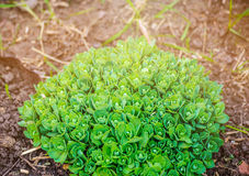 Sedum prominent Sedum hylotelephium spectabile, Herbstfreude, Stonecrop Autumn Joy. Ornamental autumn garden plant. Stock Photo