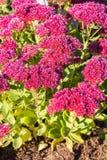 Sedum prominent Sedum spectabile. Decorative garden plant in flowering period Stock Photos