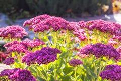 Sedum prominent Sedum spectabile. Decorative garden plant in flowering period Stock Image