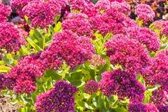 Sedum prominent Sedum spectabile. Decorative garden plant in flowering period Royalty Free Stock Photos