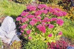 Sedum prominent Sedum spectabile. Decorative garden plant in flowering period stock photo