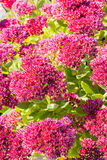 Sedum prominent Sedum spectabile. Decorative garden plant in flowering period Royalty Free Stock Images