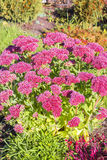 Sedum prominent Sedum spectabile. Decorative garden plant in flowering period Royalty Free Stock Photography