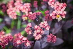 Sedum prominent Sedum spectabile in the garden. Shallow depth of field Royalty Free Stock Photo