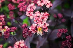 Sedum prominent Sedum spectabile in the garden. Shallow depth of field Stock Photography