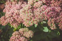 Sedum prominent Sedum spectabile in the garden. Shallow depth of field Royalty Free Stock Image