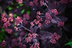 Sedum prominent Sedum spectabile in the garden. Shallow depth of field Stock Photos