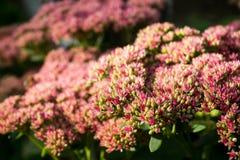 Sedum prominent Sedum spectabile in the garden Stock Photography