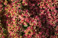 Sedum prominent Sedum spectabile in the garden. Shallow depth of field Stock Image