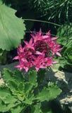 Sedum prominent Sedum spectabile. Ornamental autumn garden plants. flowering period Royalty Free Stock Photography