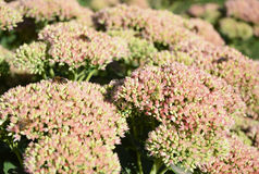 Sedum prominent Sedum spectabile. Ornamental garden plants. Make your garden bee-friendly in autumn. Stock Photography