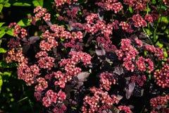Sedum prominent Sedum spectabile in the garden. Shallow depth of field Royalty Free Stock Images
