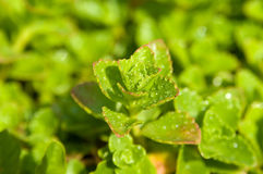 Sedum with raindrops, close-up Stock Image