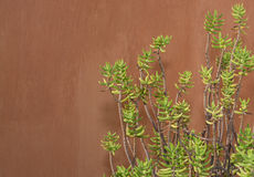 Sedum reflexum against terracotta color wall Stock Photo