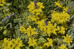 Sedum reflexum. On flowerbed or rockery with lavender royalty free stock image
