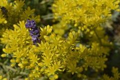 Sedum reflexum. On flowerbed or rockery with lavender stock photo