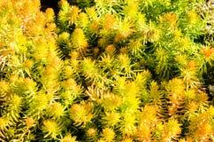 Sedum rośliny używać dla podtrzymywalnych flancowań zdjęcie royalty free