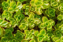 Sedum roślina w ogrodowym tle Obrazy Royalty Free