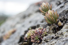 Sedum sediforme, a genus of flowering plants Royalty Free Stock Photo