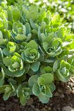 Sedum Sedum spectabile at springsunny day. Decorative garden plant. Sedum Sedum spectabile at springsunny day. Flower card background with sedum and sun rays or royalty free stock photo