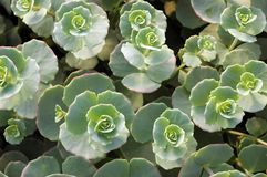 Stonecrop plants Stock Photography