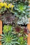 Sedum of sempervivium die voor groene daken wordt gebruikt Royalty-vrije Stock Afbeeldingen