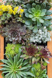 Sedum or sempervivium used for green roofs Royalty Free Stock Images