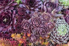 Sedum or sempervivum plants for use with sustainable green roof Stock Image
