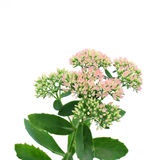 Sedum spectabile Stock Photos