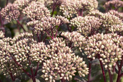 Sedum spectabile in bloom. Stock Images