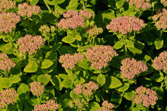 Sedum spectabile flowers Stock Photo