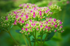 Sedum spectabile Stock Photography