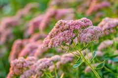Sedum spectabile `iceberg` pink and white flower Stock Photography