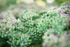 Sedum spectabile Iceberg plant Stock Photography