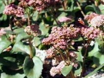 Sedum spectabile oder Hylotelephium spectabile Lizenzfreie Stockfotografie